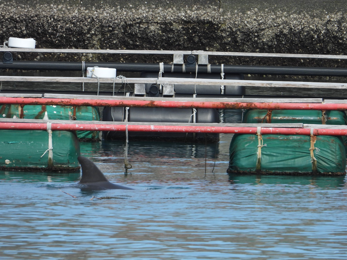 Lone bottlenose dolphin swims in Taiji harbor.