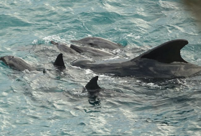 A pod of rough-toothed dolphins and a lone pilot whale are driven into the Cove, Taiji, Japan