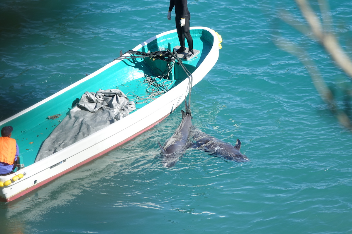 Once wild and free, these dolphins will now end up on plates for human consumption, Taiji, Japan