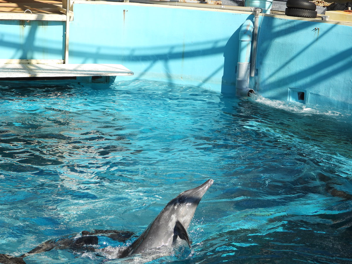Dolphins swim in endless circles in Taiji Whale Museum's tanks, Japan