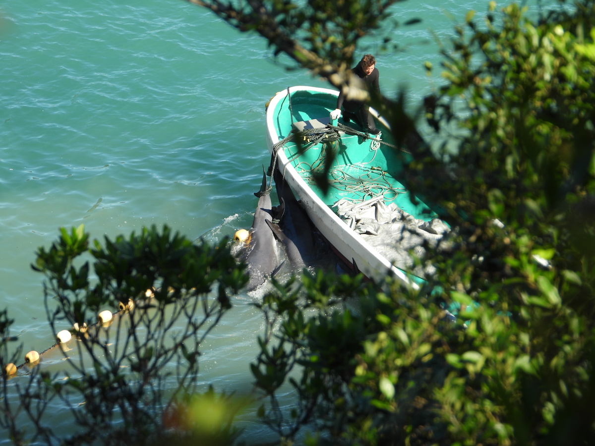 Melon-headed whales tethered to skiffs are removed from the Cove after slaughter, Taiji, Japan