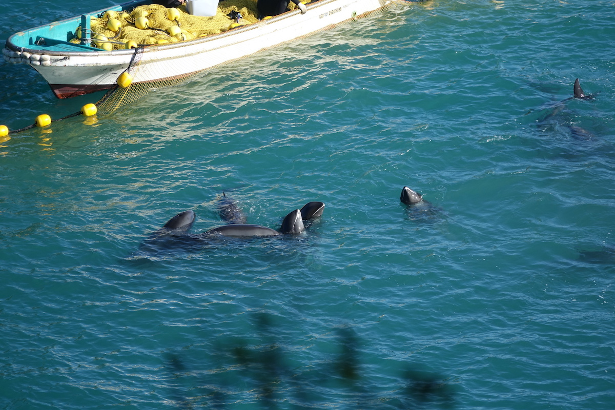After being driven into the Cove, the exhausted dolphins are pushed into shallow water, Taiji, Japan