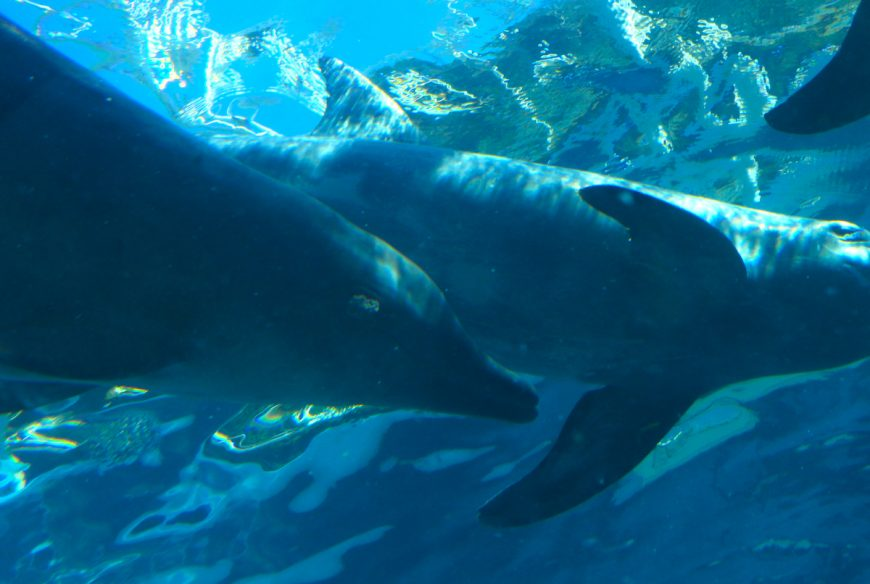 Rough-toothed dolphin with visible skin lesion swims alongside tankmates in endless circles, Taiji Whale Museum, Japan
