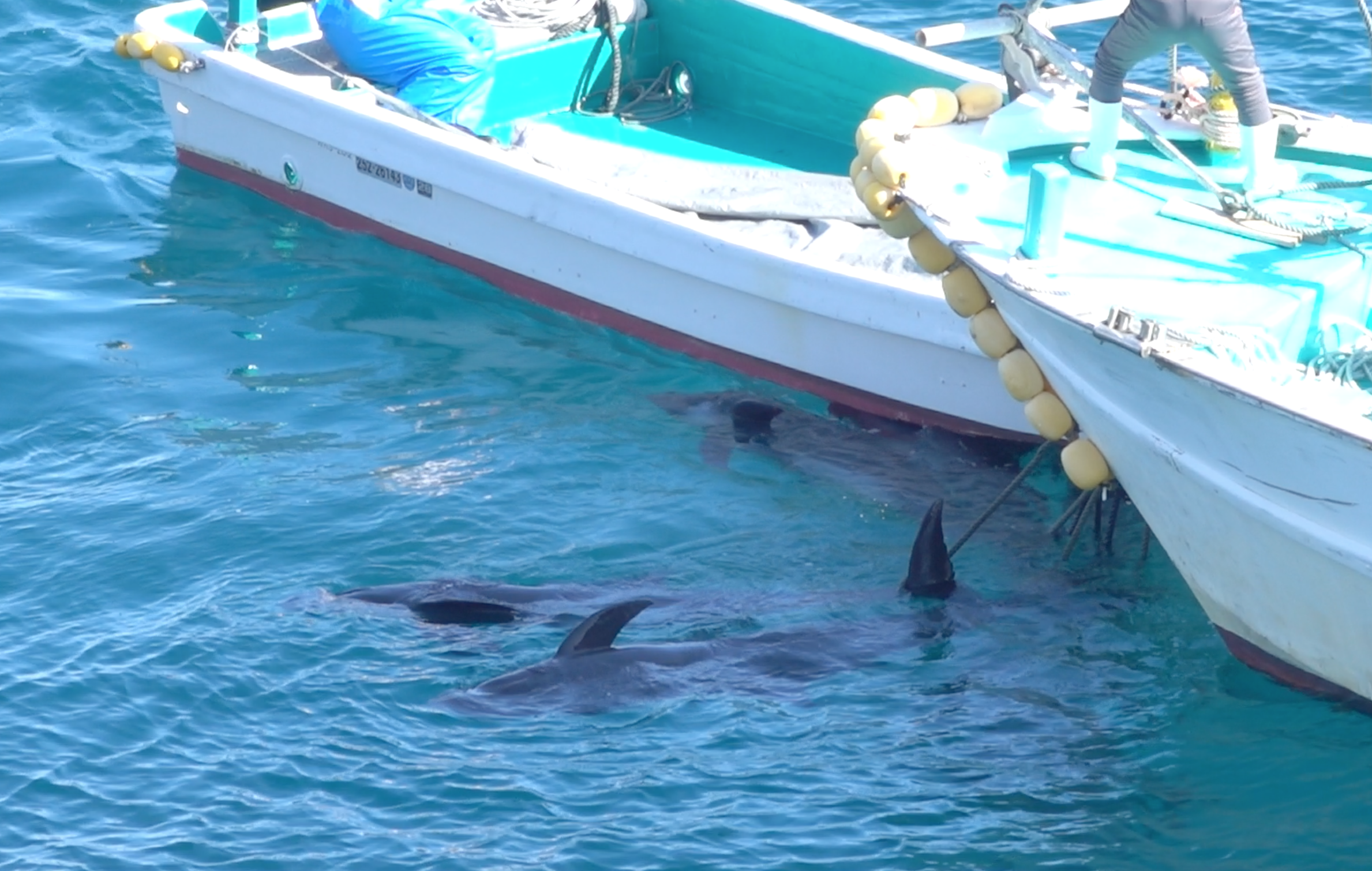 The dead bodies of melon-headed whales are dragged to the butcher's house for processing, Taiji, Japan