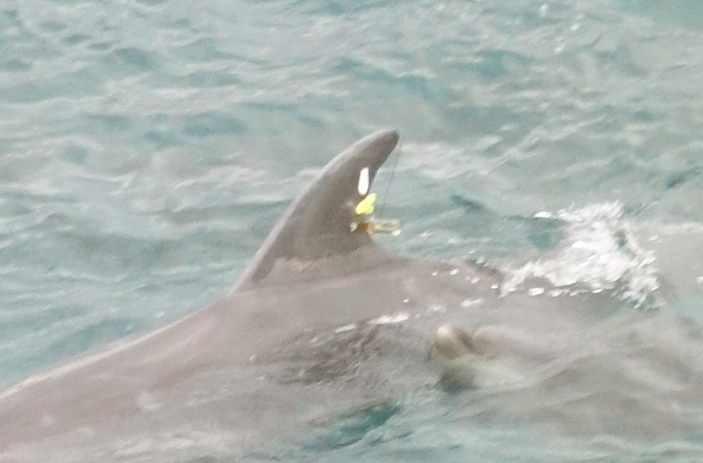Dolphins not selected for captivity are tagged prior to release, Taiji, Japan