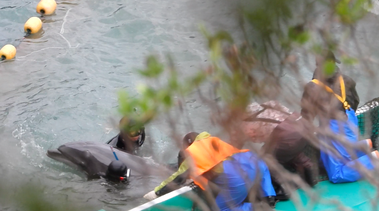 Divers drag a bottlenose dolphin under tarps during captive selection