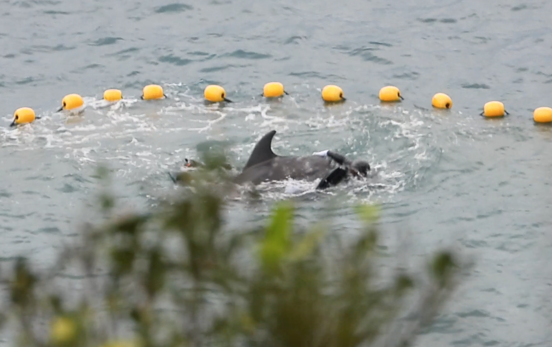 """Divers wrangle a bottlenose dolphin towards shallow waters to be """"inspected"""" for suitability for captivity, Taiji, Japan"""