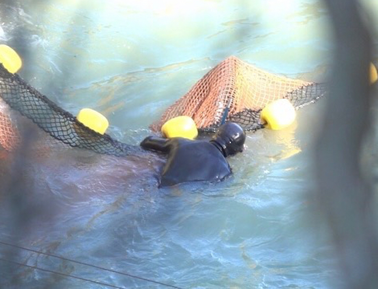 Panicked melon-headed whale becomes stuck underneath net, Taiji, Japan