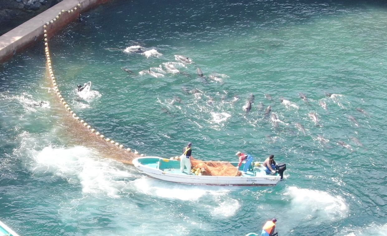 Dolphins panic after being driven into the Cove, Taiji, Japan