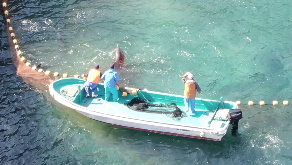 Dolphins become entangled in nets in attempts to escape the Cove, Taiji, Japan