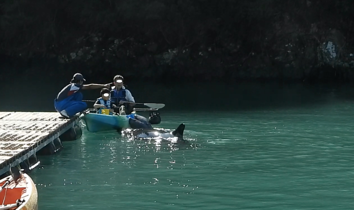 Kayaking with captive dolphins at the Taiji Whale Museum, Japan
