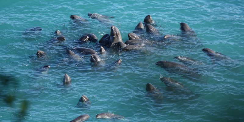 A pod of melon-headed whales is driven into the Cove, Taiji, Japan