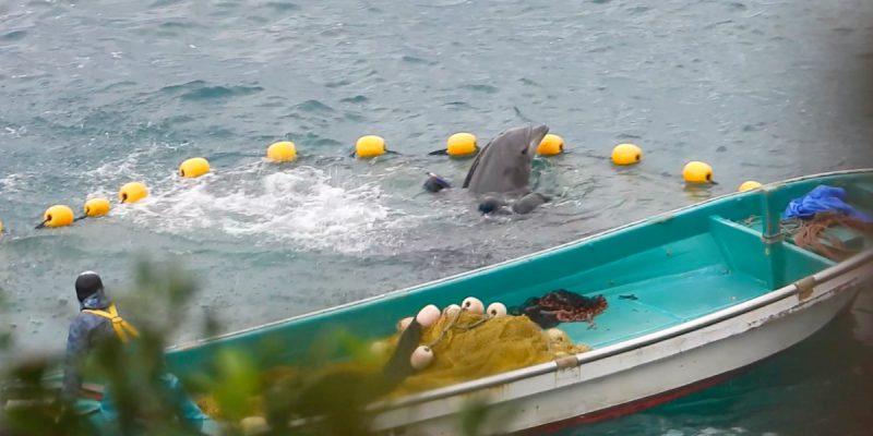 Bottlenose dolphin captive selection, Taiji, Japan