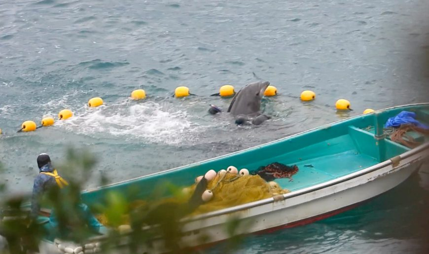 Bottlenose dolphin captive selection, Taiji, Japan