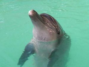 Gombloh dolphin Melka