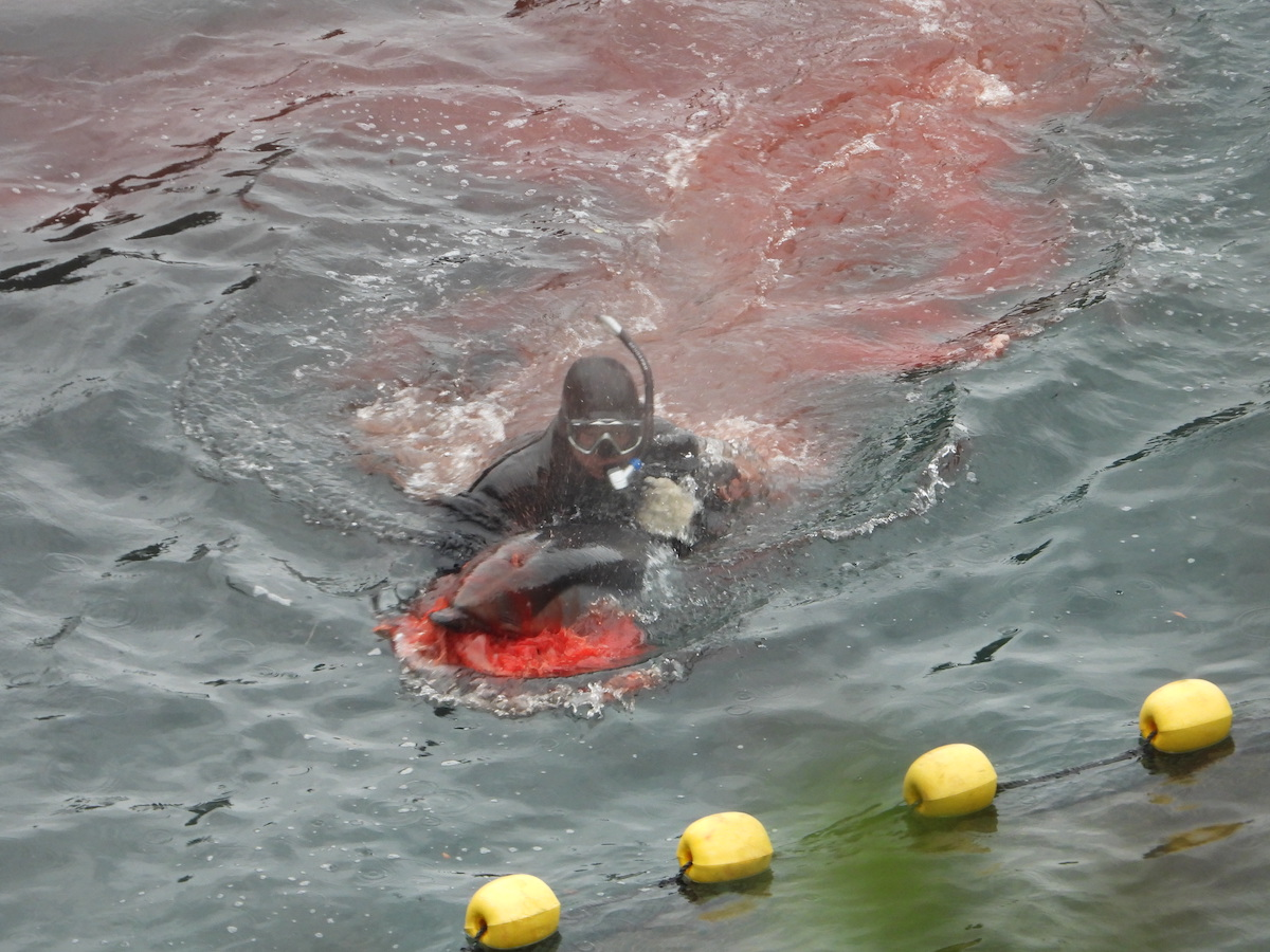 Horrific suffering at human hands: bleeding dolphin is lead to its death, Taiji, Japan.