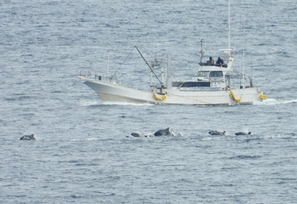 A dolphin hunting boat chases after the pod of melon-headed whales in Taiji, Japan