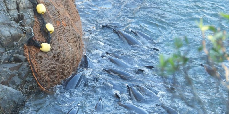 Stressed pod of pantropical spotted dolphins swims against the rocks and net | Credit: DolphinProject.com