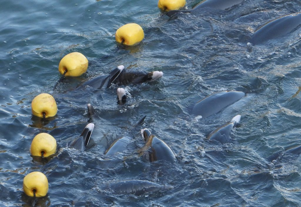 The panicked pod of pantropical spotted dolphins swims against the nets in the Cove, Taiji, Japan