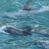 Risso's dolphin calf