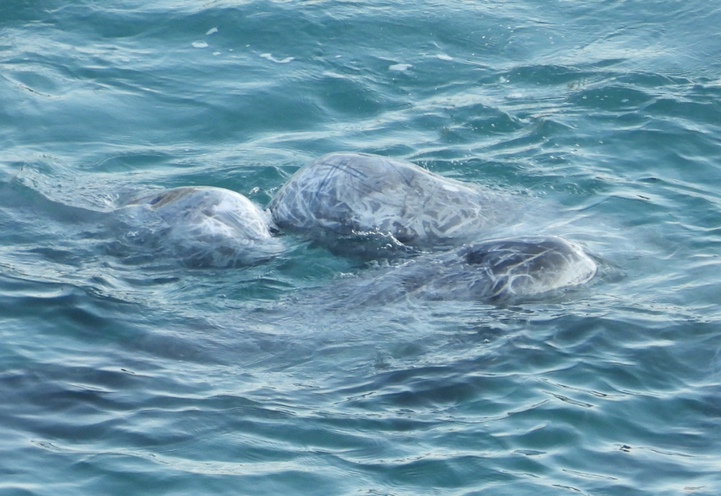Risso's dolphins comfort each other
