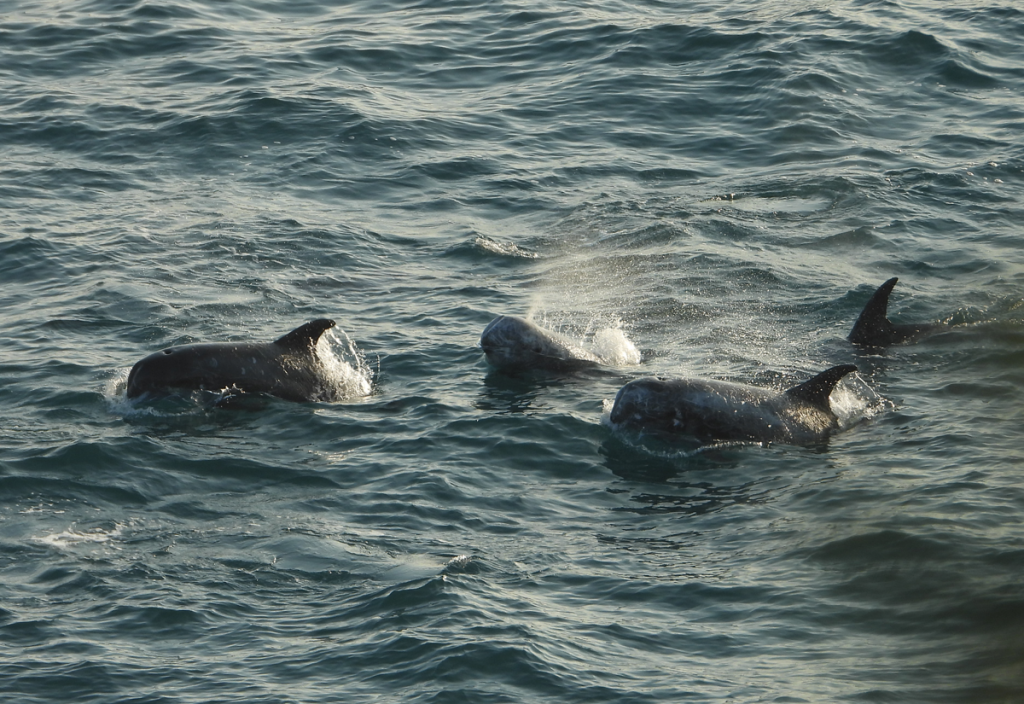 risso's dolphins being chased
