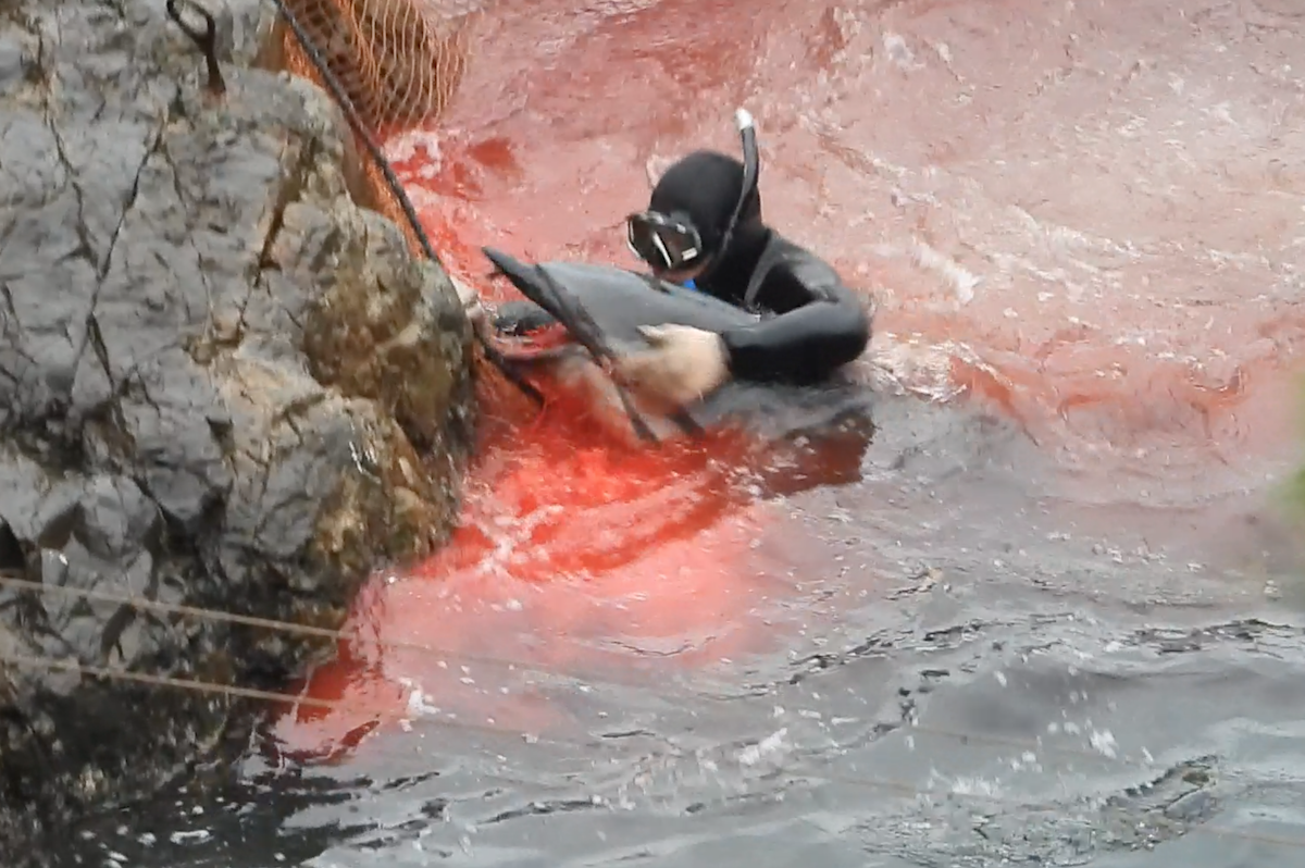 Horrific injuries to this dolphin's jaw are documented by our team, Taiji, Japan.