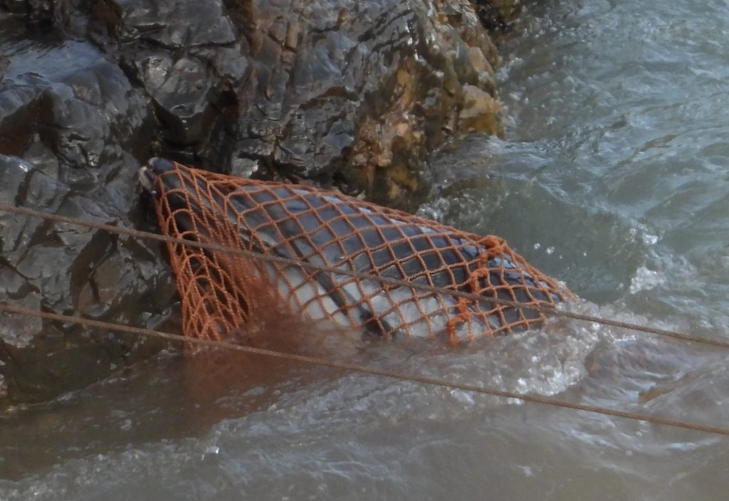 Striped dolphin entangled in the hunters' net