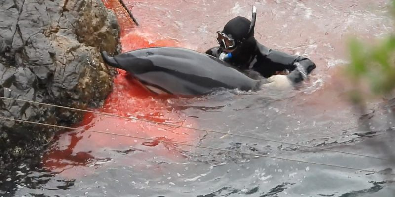 Dolphin Project Cove Monitors document gruesome injury to dolphin's upper jaw after being driven into the Cove to be slaughtered, Taiji, Japan.