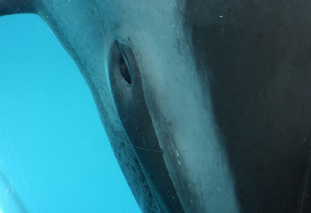 Captive pantropical spotted dolphin looks through the glass at the Taiji Whale Museum
