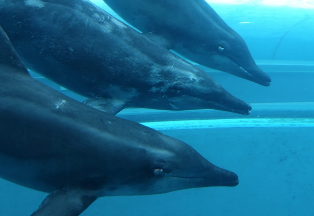 Visible wounds around the eyes of captive rough toothed dolphins at the Taiji Whale Museum