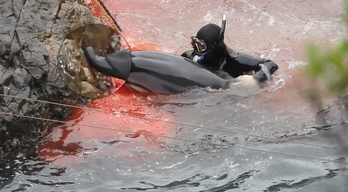 Striped dolphin's upper jaw appears to bend backwards during horrific struggle in the Cove, Taiji, Japan.