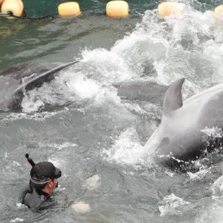 Wild dolphins panic amid capture