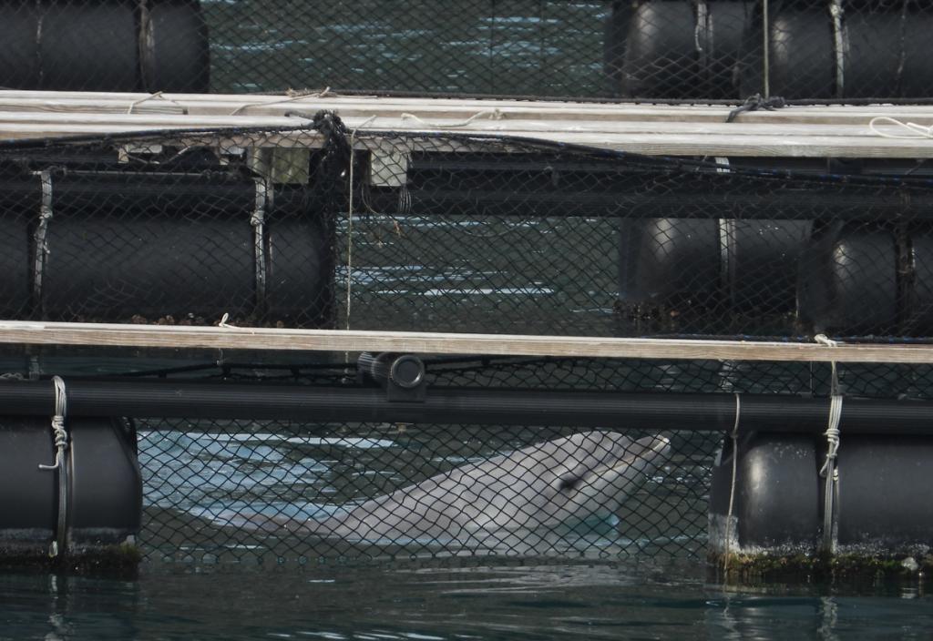 Newly captured bottlenose dolphin