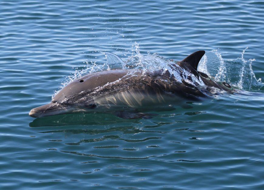 Long-beaked common dolphin