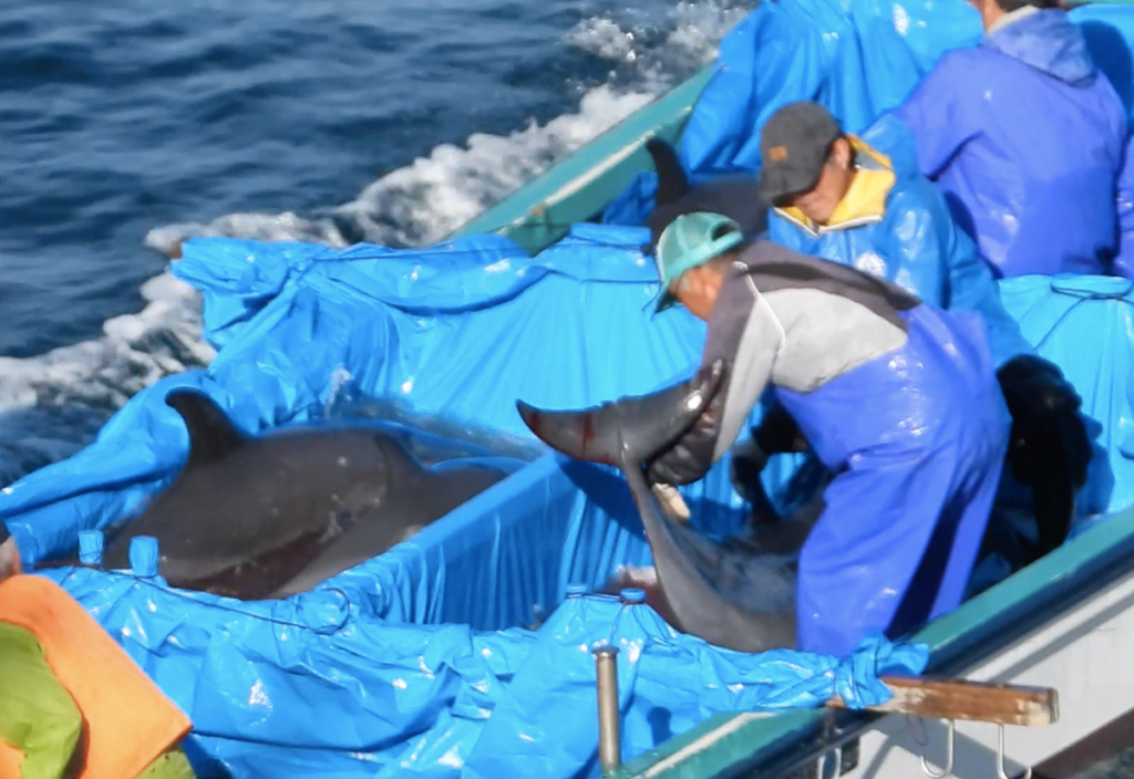Hunters dump unwanted dolphins