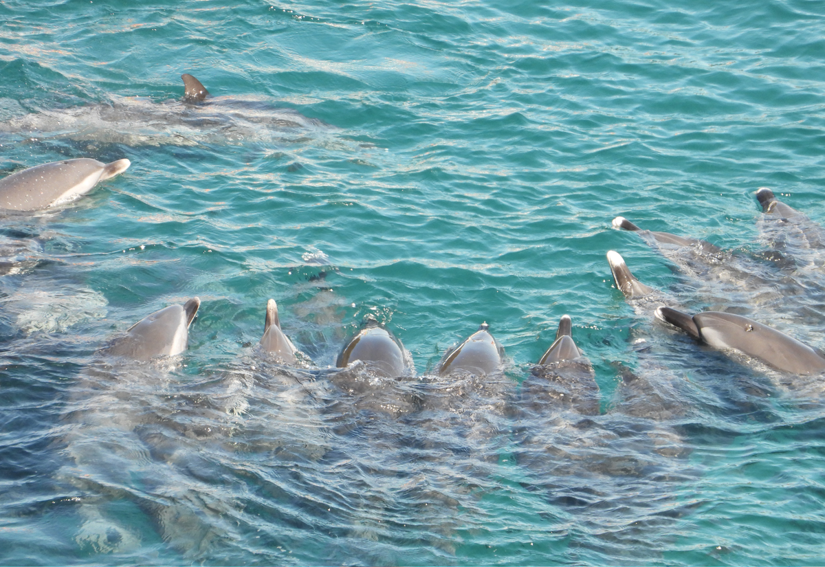 Pantropical spotted dolphins huddle together as they are trapped in the Cove, Taiji, Japan