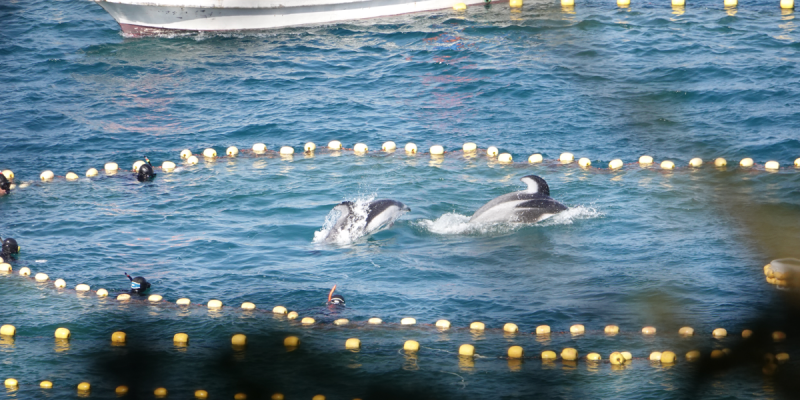 An adult male and a younger dolphin frantically surface while trapped in the hunters' nets. | Credit: DolphinProject.com