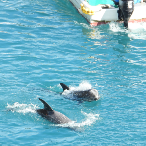 Rissos dolphins harassed by hunter's skiff
