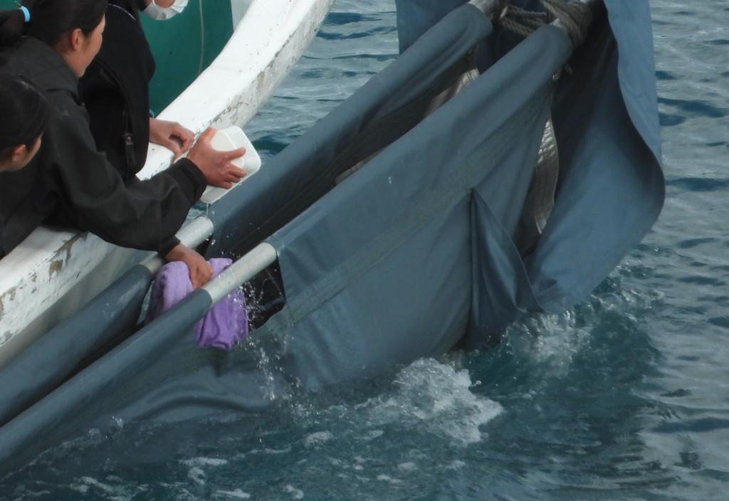 Risso's dolphin taken captive