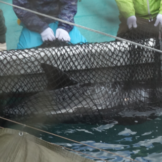 Risso's dolphin netted for captive selection