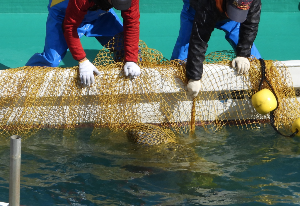 Risso's dolphin entangled in hunters' net