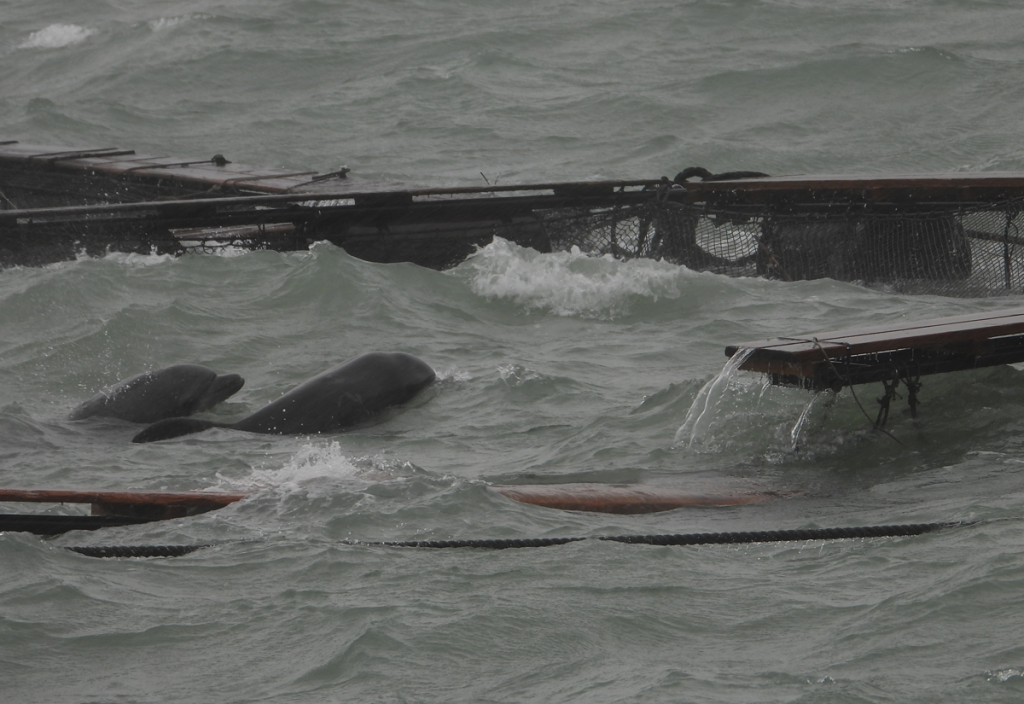 dolphins trapped in storm