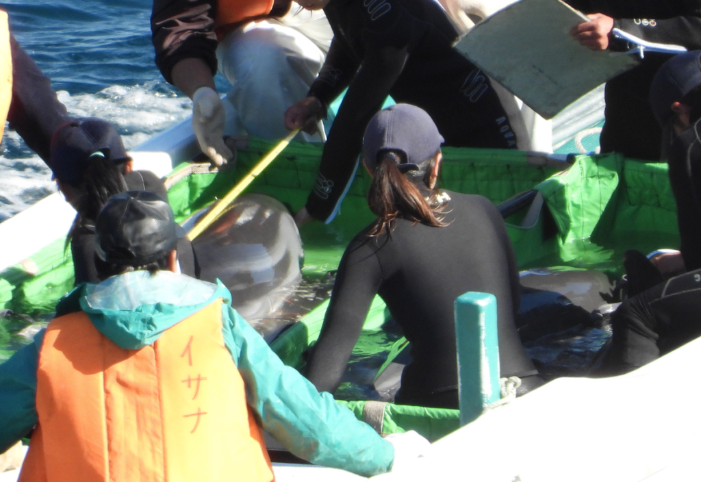 Dolphin trainers inspect wild striped dolphins