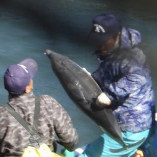 Juvenile striped dolphin thrown onto skiff for slaughter, Taiji, Japan