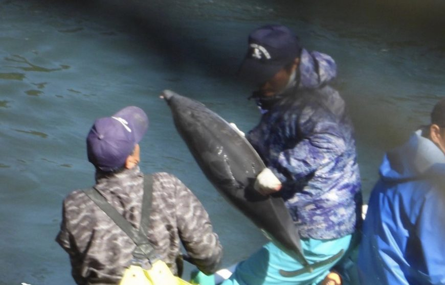 Juvenile striped dolphin thrown onto skiff for slaughter, Taiji, Japan