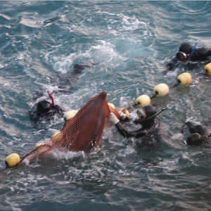"Brutality in the Cove as bottlenose dolphins are selected for ""life"" in captivity, Taiji, Japan"
