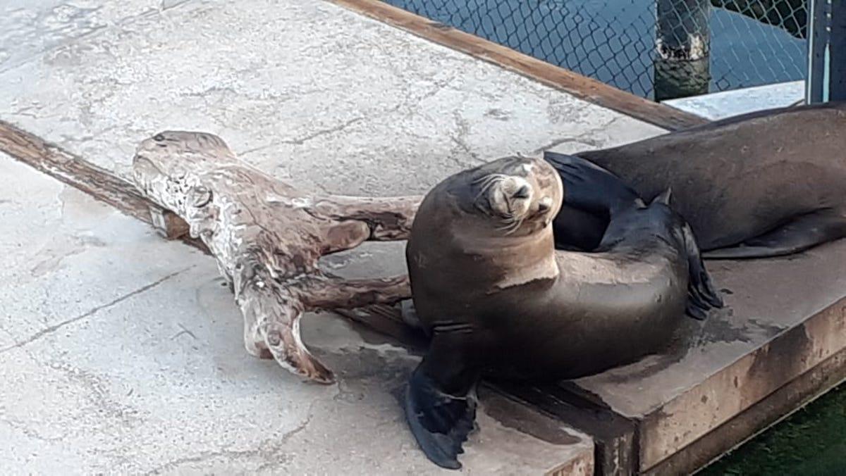Lion de mer avec une infection oculaire présumée à Dolphin Discovery Los Cabos.