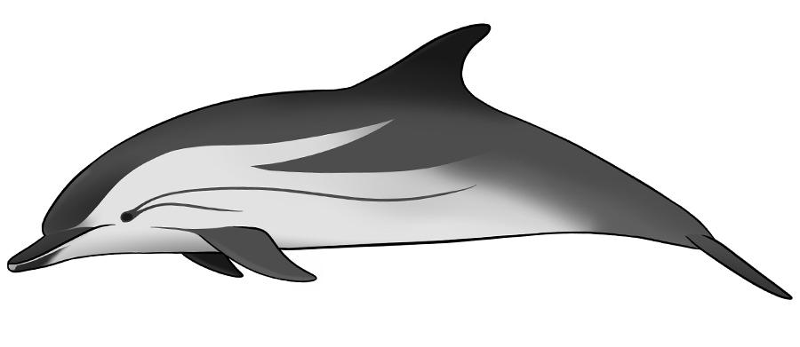Striped dolphin art