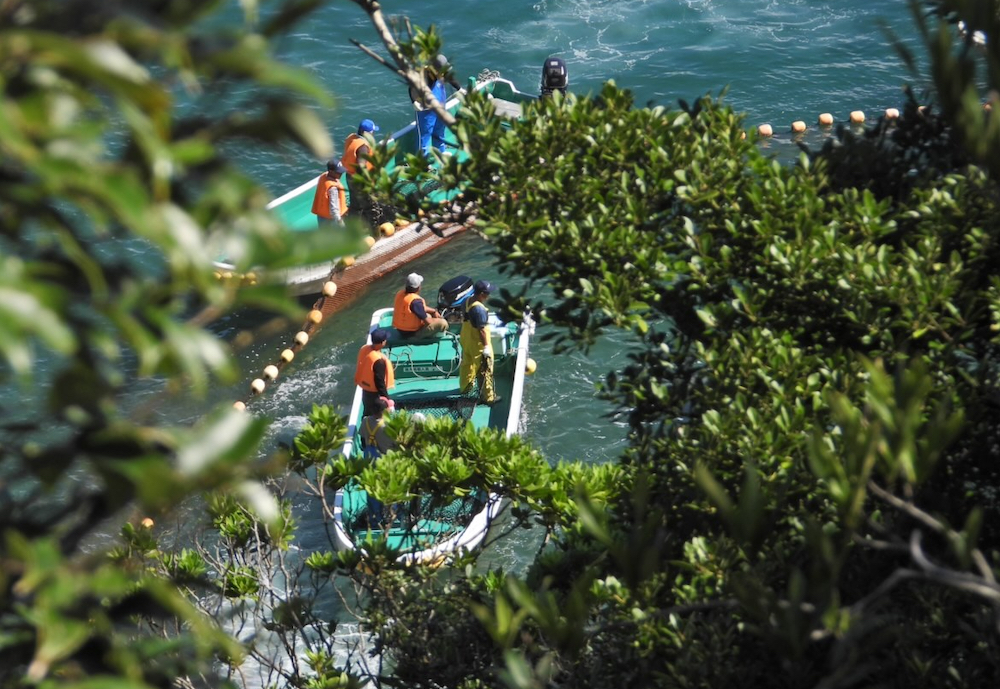 Four dolphins are taken captive in the first drive of the 2020/21 dolphin hunting season, Taiji, Japan